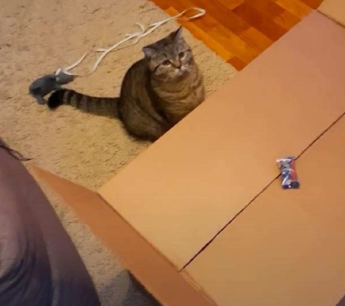 fenya gattina tabby cade scatolone aperto