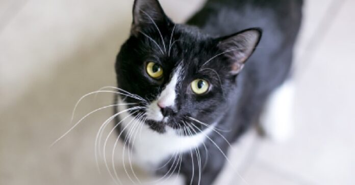 gattina tuxedo salta sulla tendina doccia video