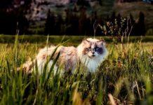 gatto che vive in campagna
