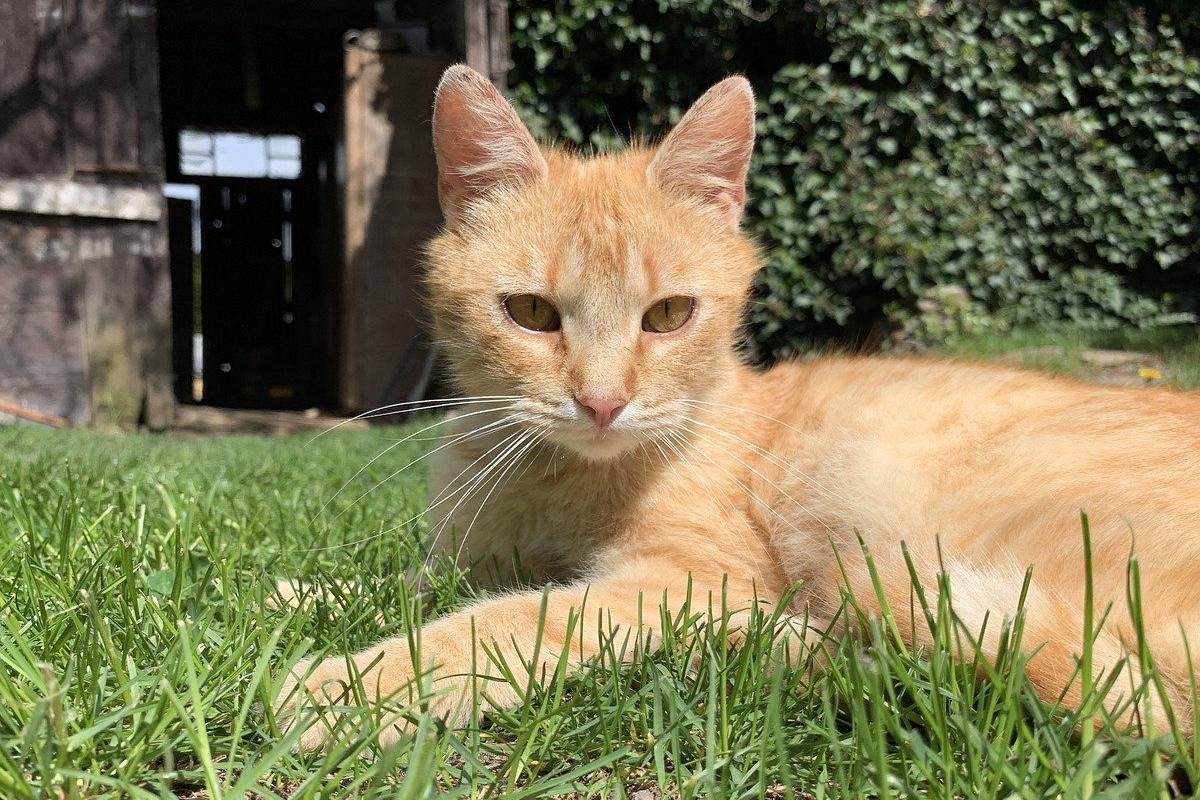gatto arancione sul prato