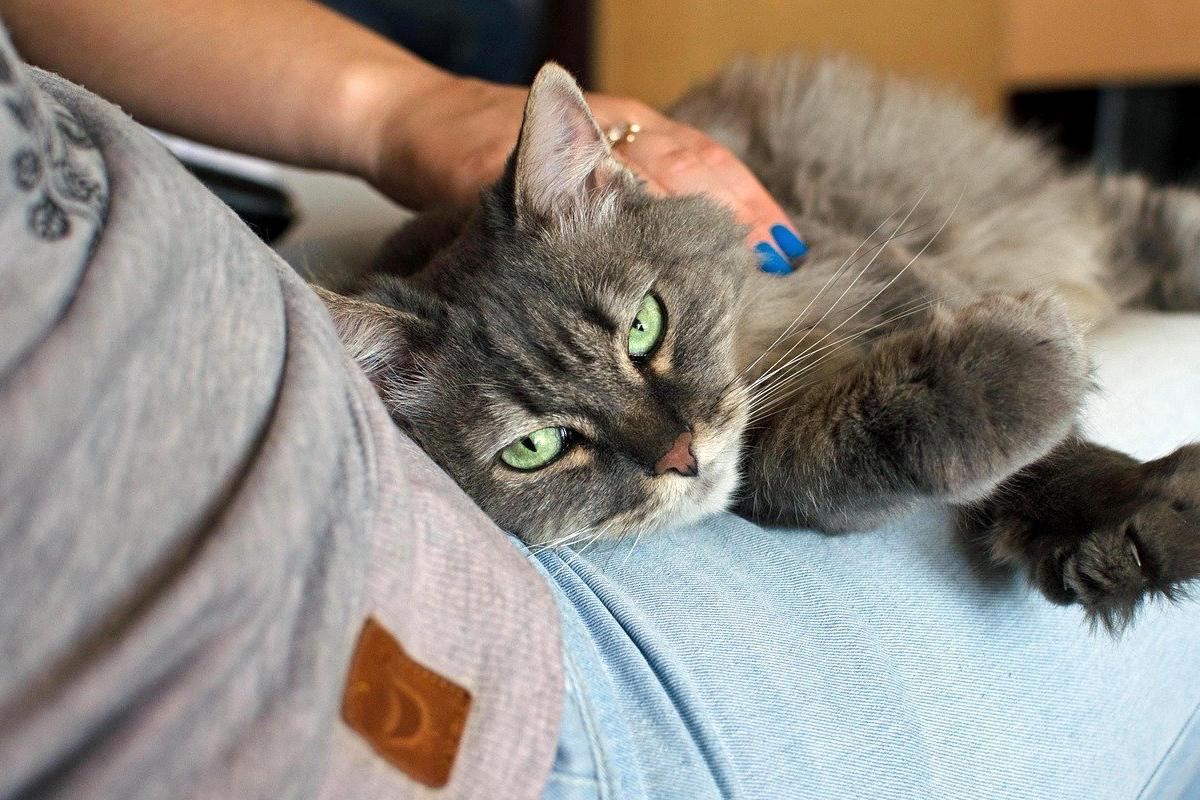 gatto sulle gambe della padrona