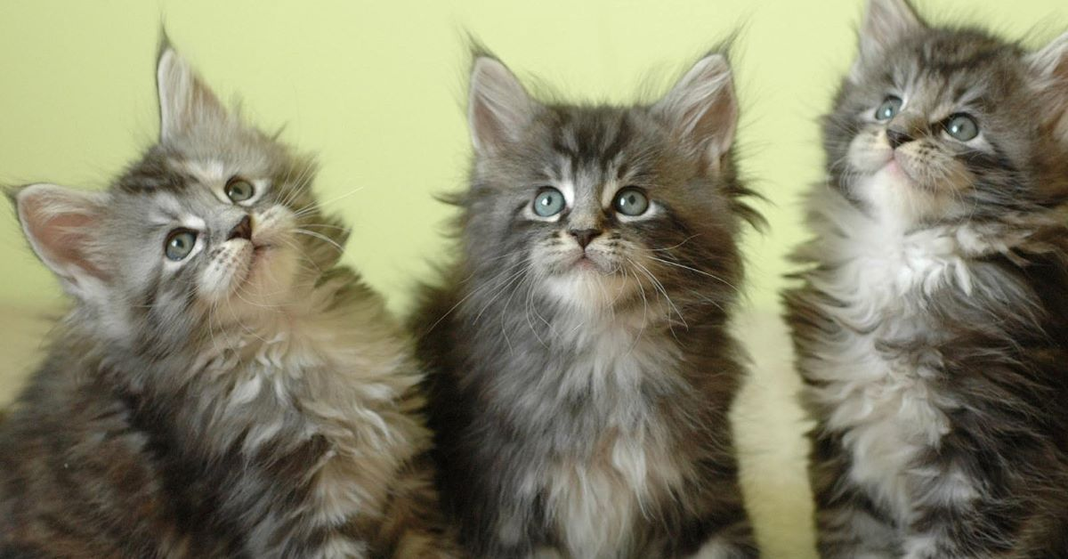 maine coon amici