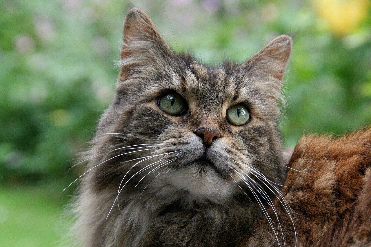 gatto sguardo splendido