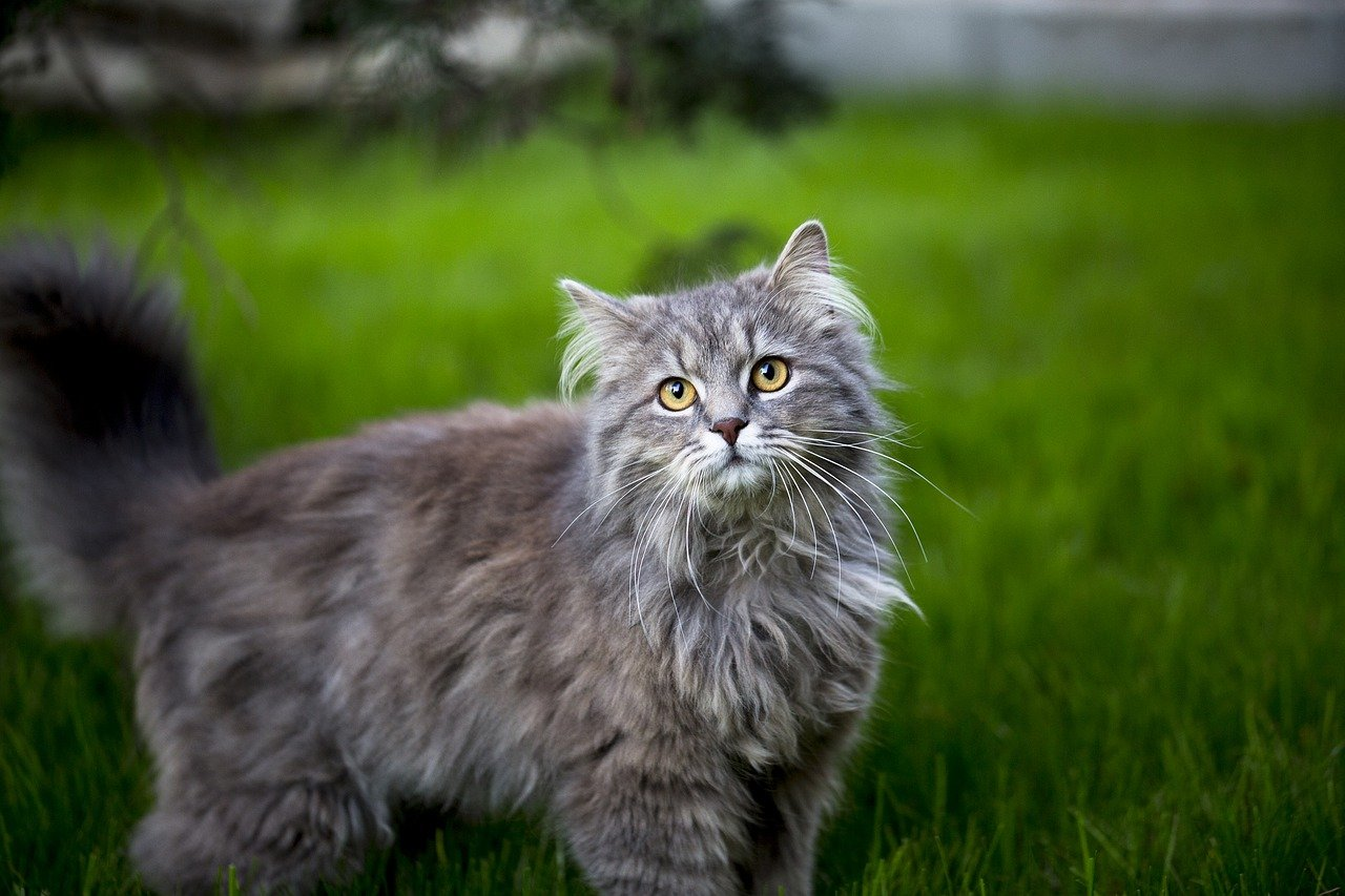 maine coon nell'erba