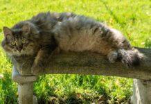 maine coon sdraiato al sole