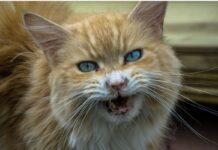 gatto rosso con occhi azzurri aggressivo
