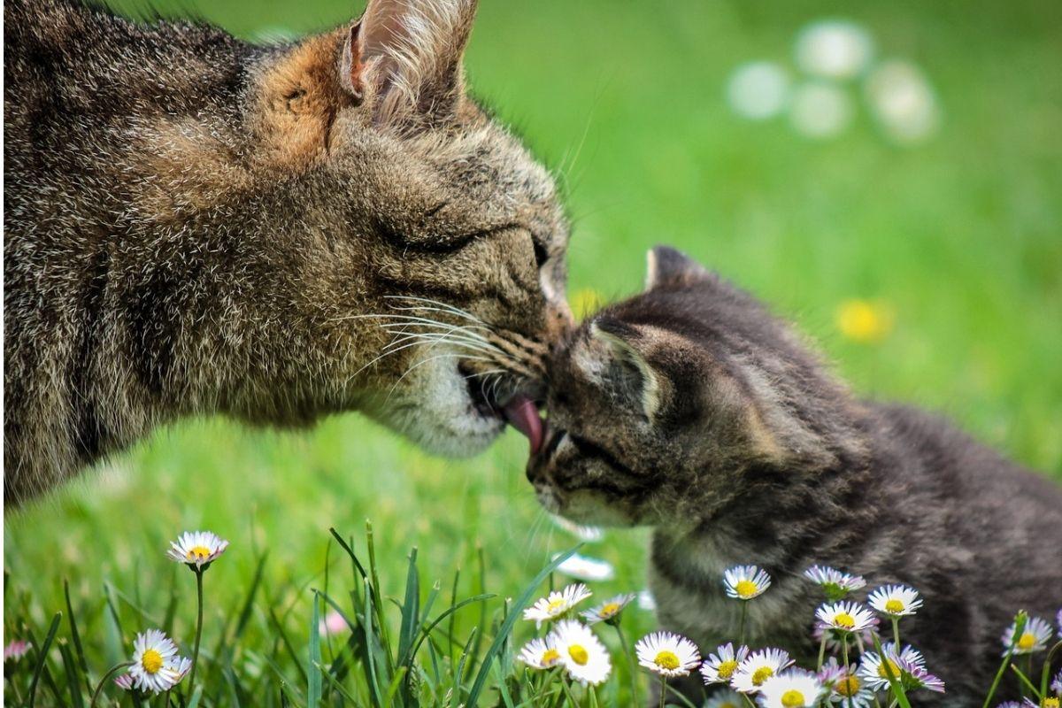 mamma gatta lecca il musino del suo piccolo