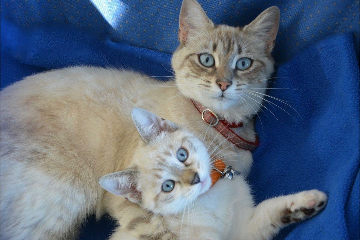gatta chiara con un suo gattino