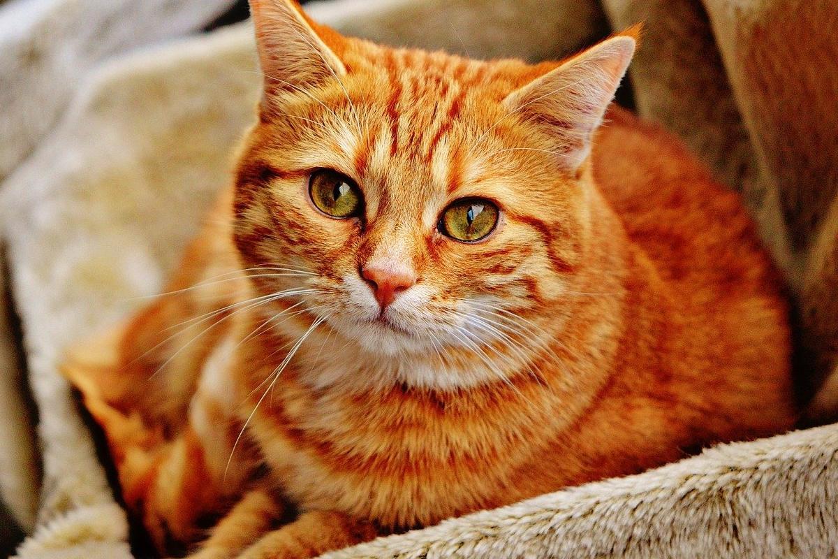 gatto arancione nella cuccia