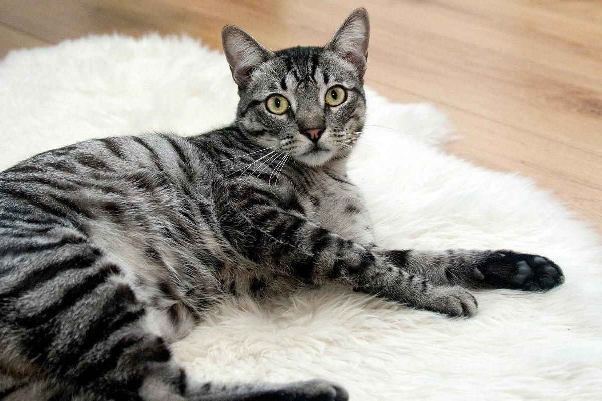 gatto su un tappeto bianco