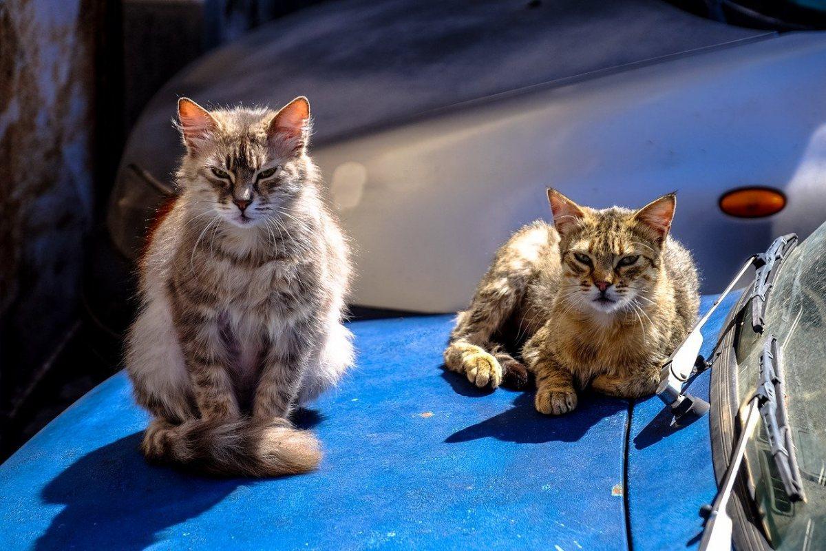 gatti su un'automobile