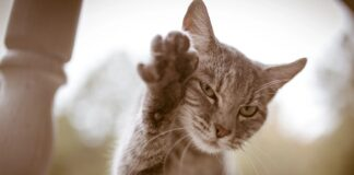 gatto alza la zampa destra