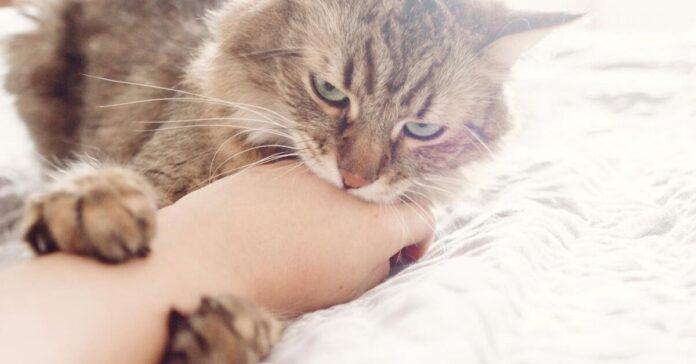 gatto che mordicchia