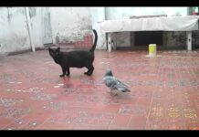piccione gioca con gatto
