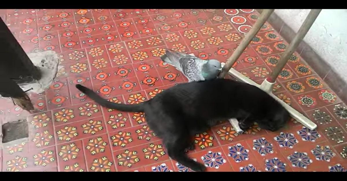 gatto nero e piccione migliori amici