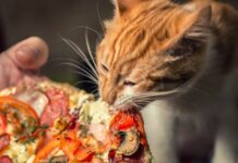 gatto mangia pizza