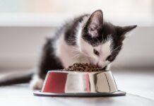 gattino che mangia