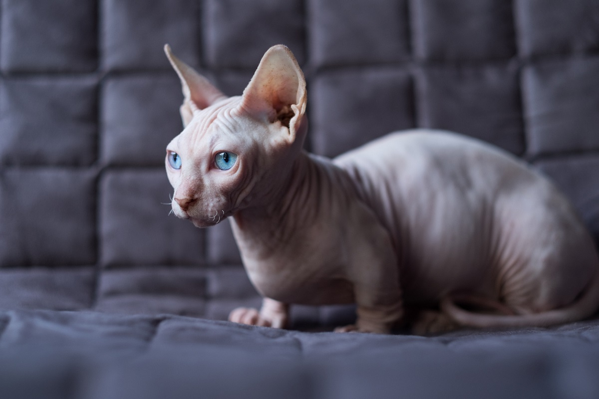 Peterbald gatto