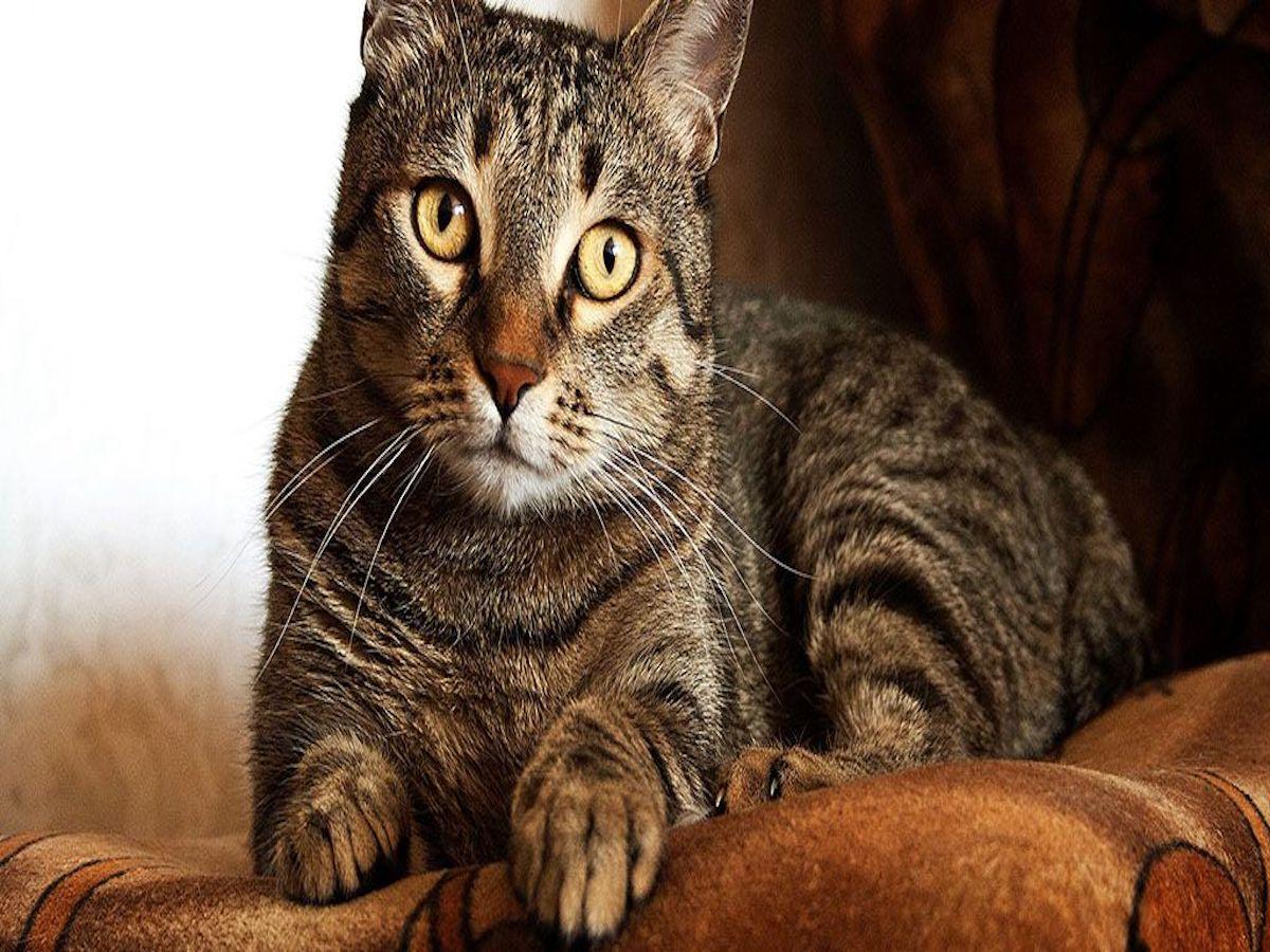 gatto europeo tigrato