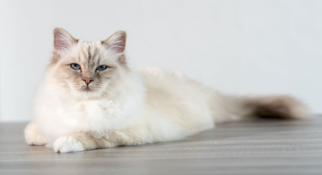 gatto birmano elegante