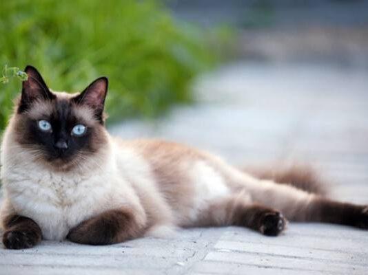 gatto balinese rilassato