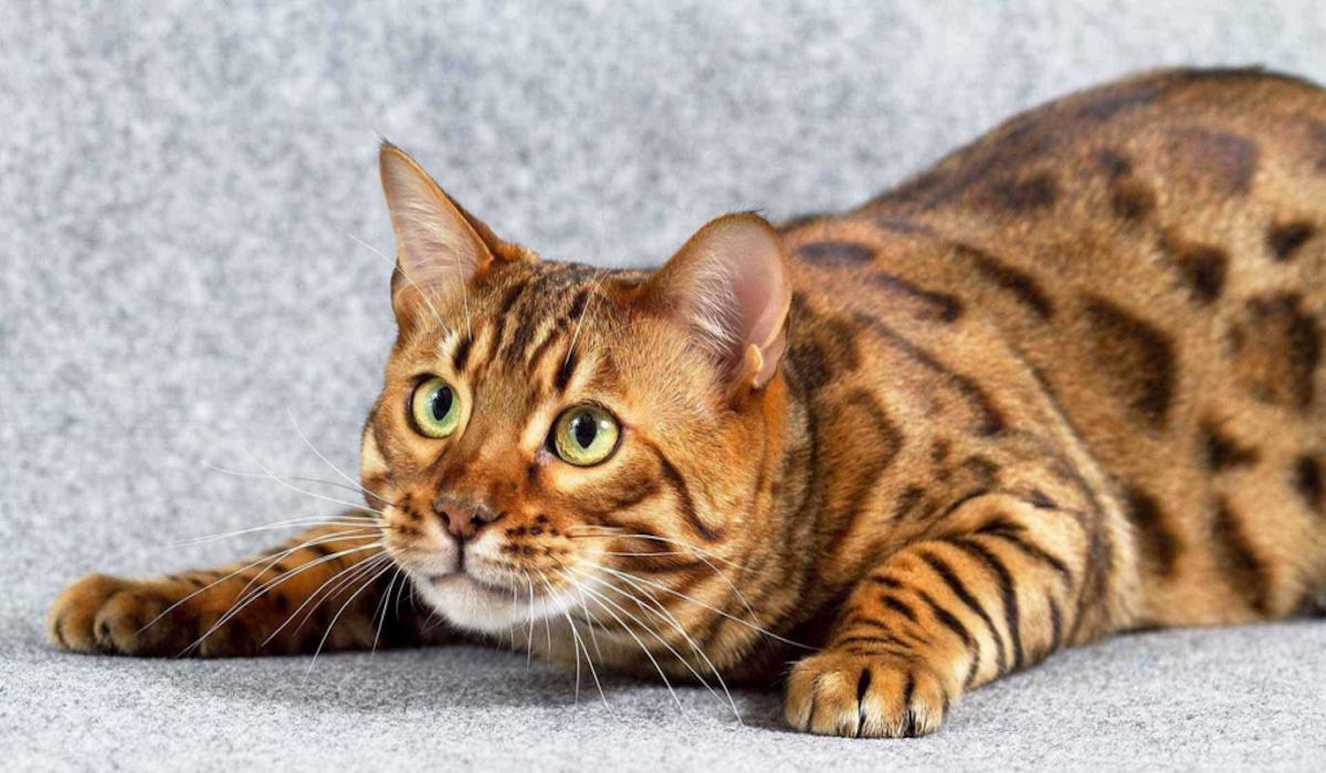 gatto pronto all'attacco