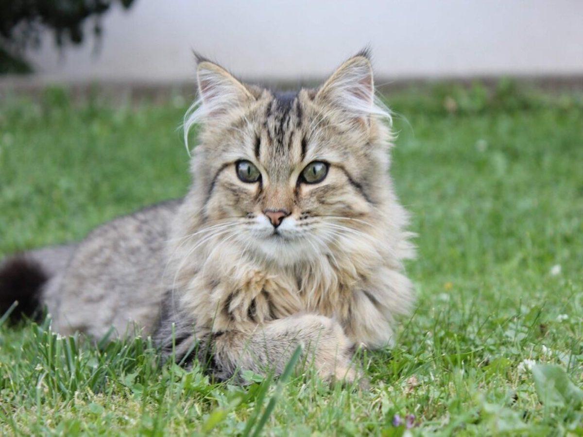 gatto norvegesi nell'erba