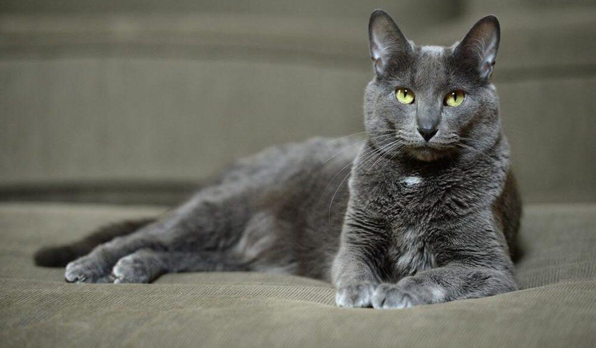 gatto blu occhi chiari