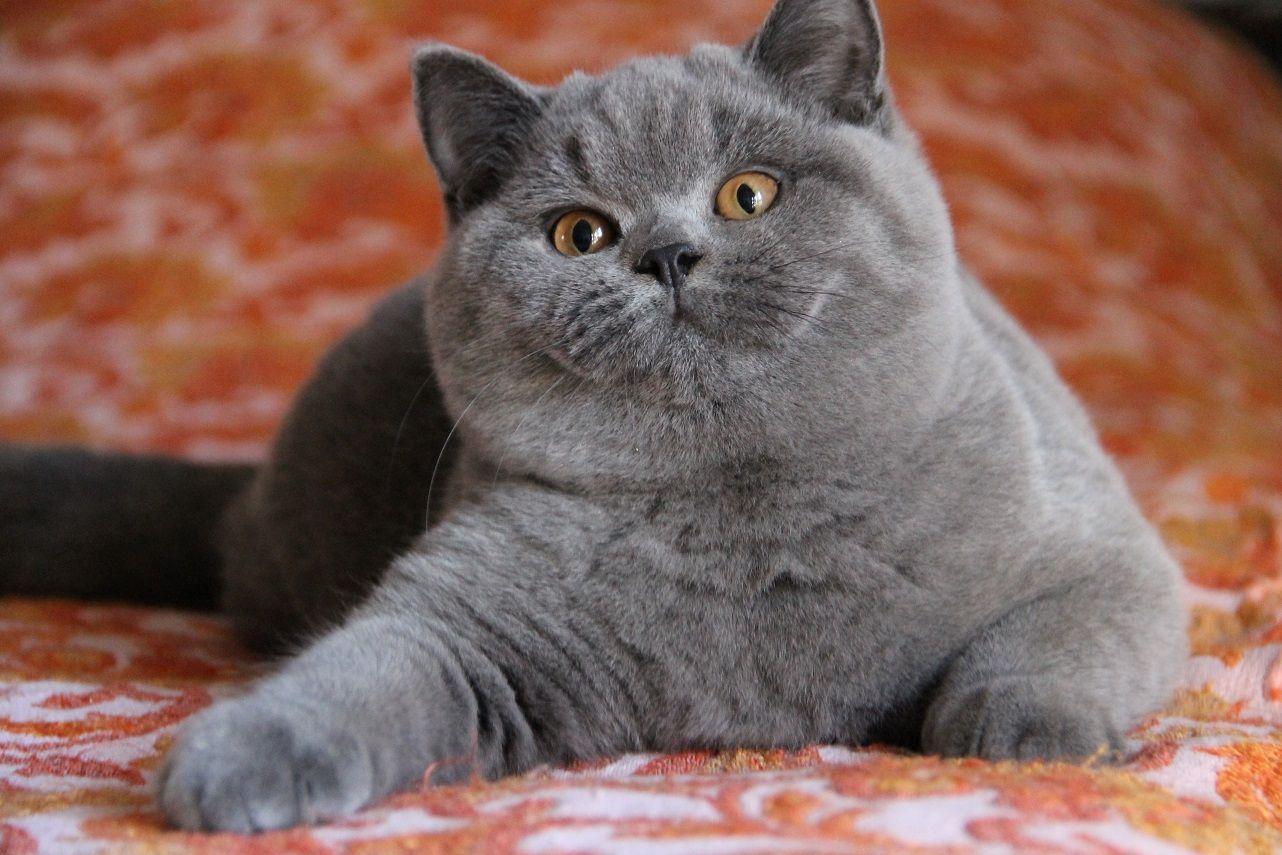 gatto paffuto