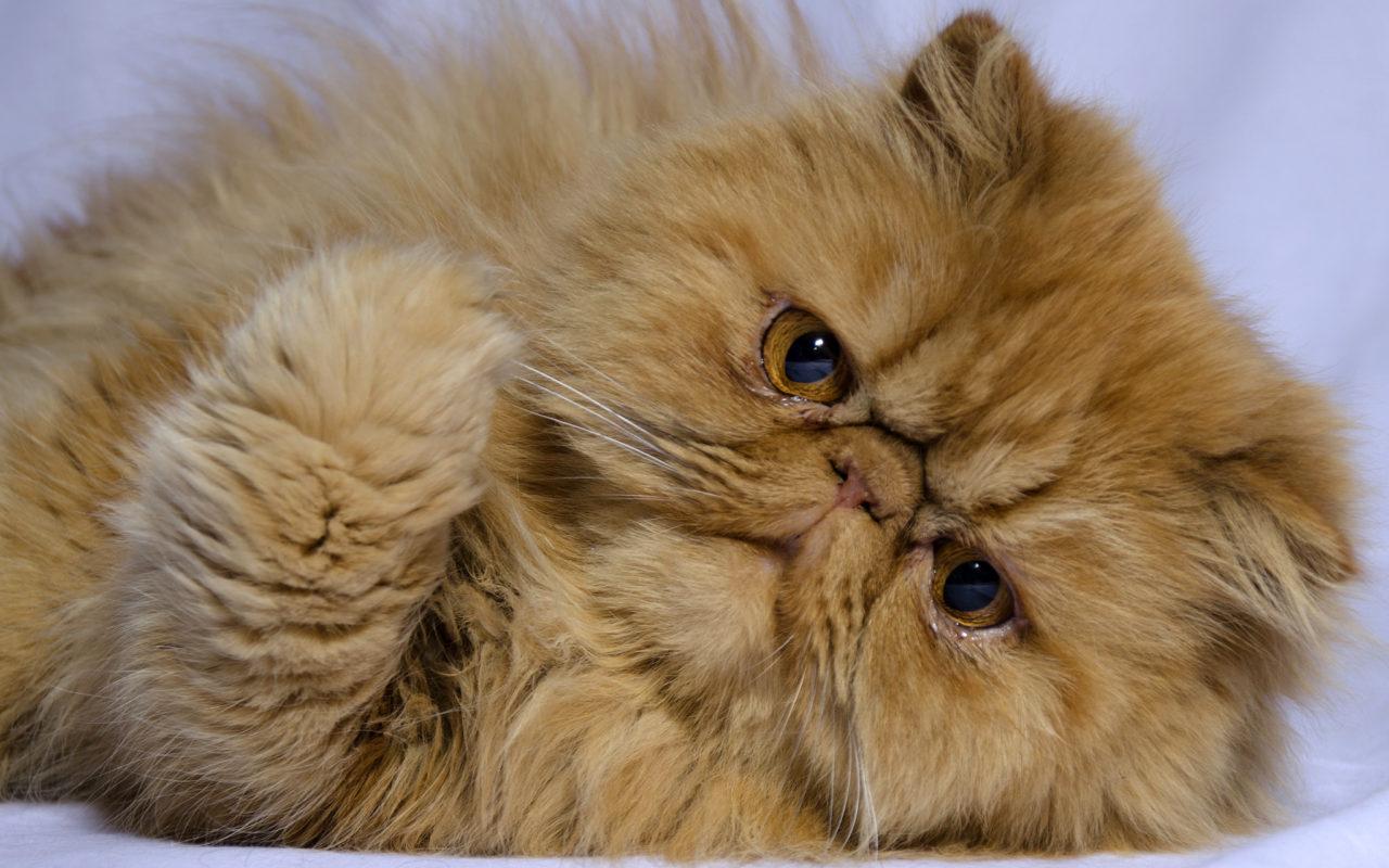 gatto musetto schiacciato