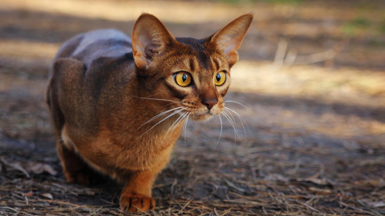 gatto occhi gialli