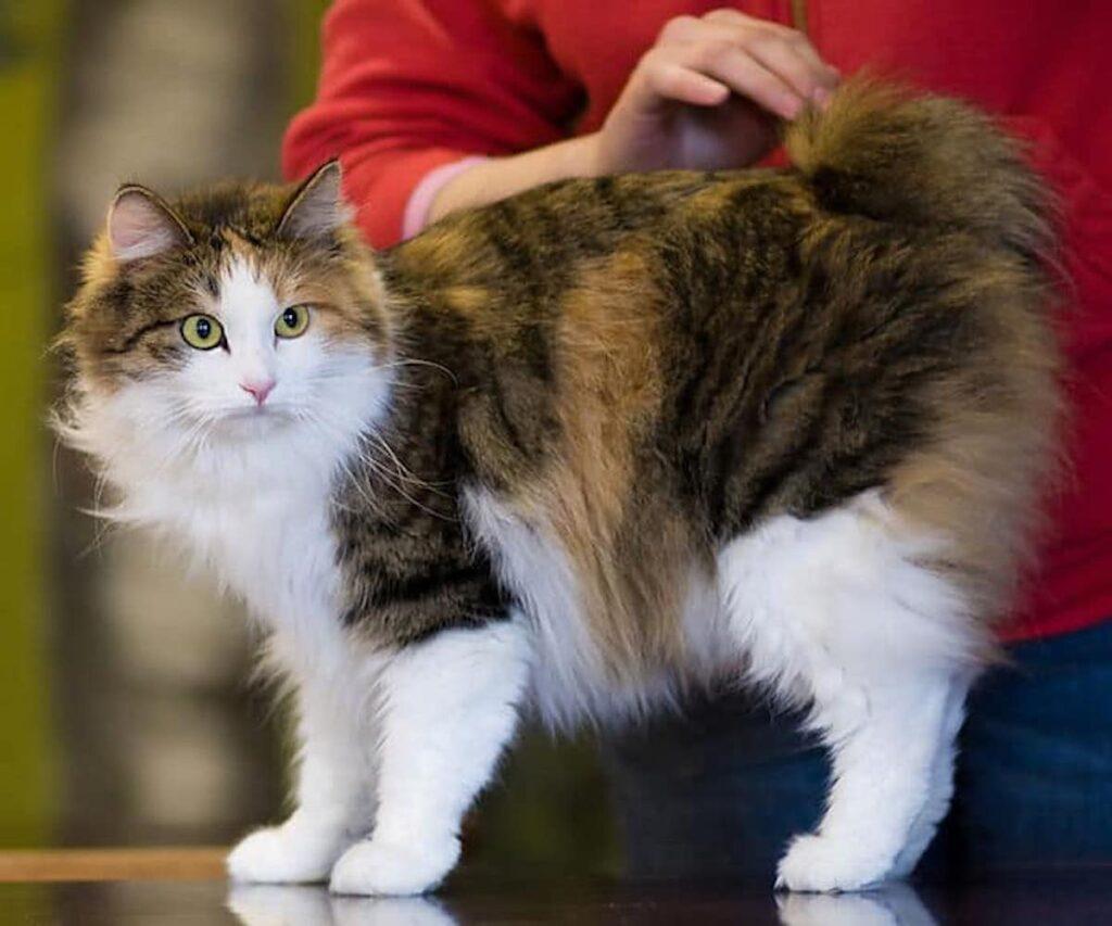 gatto coda pon-pon