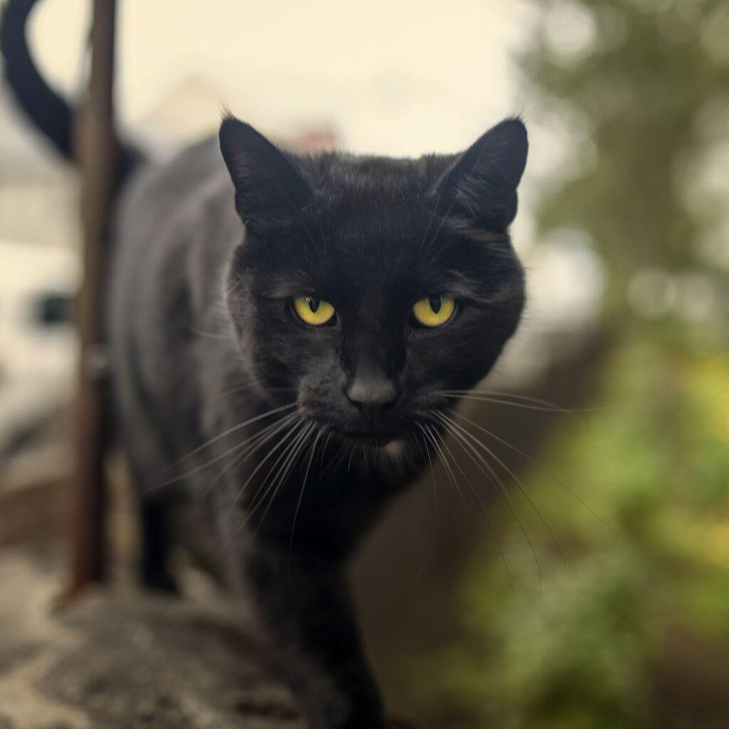 gatto nero razza bombay