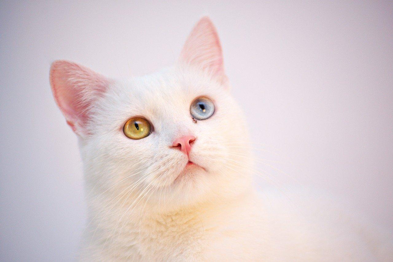 gatto bianco occhi colorati