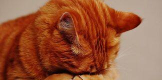 gatto rosso si copre il viso con le zampe