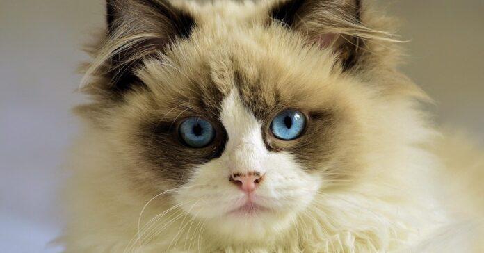 gatto siamese a pelo riccio