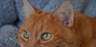 gatto rosso triste