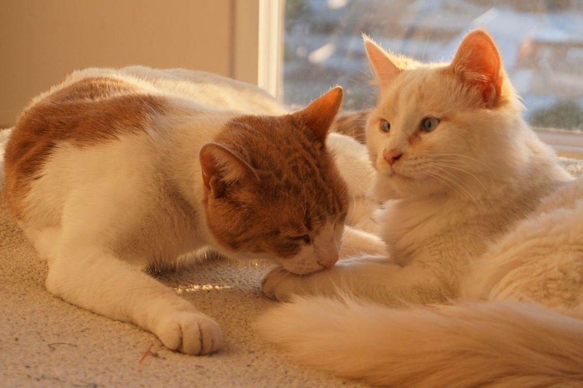 gatto maschio corteggia gatta