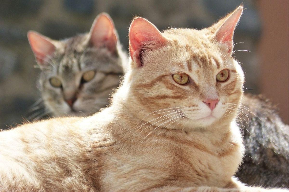 una coppia di gatti