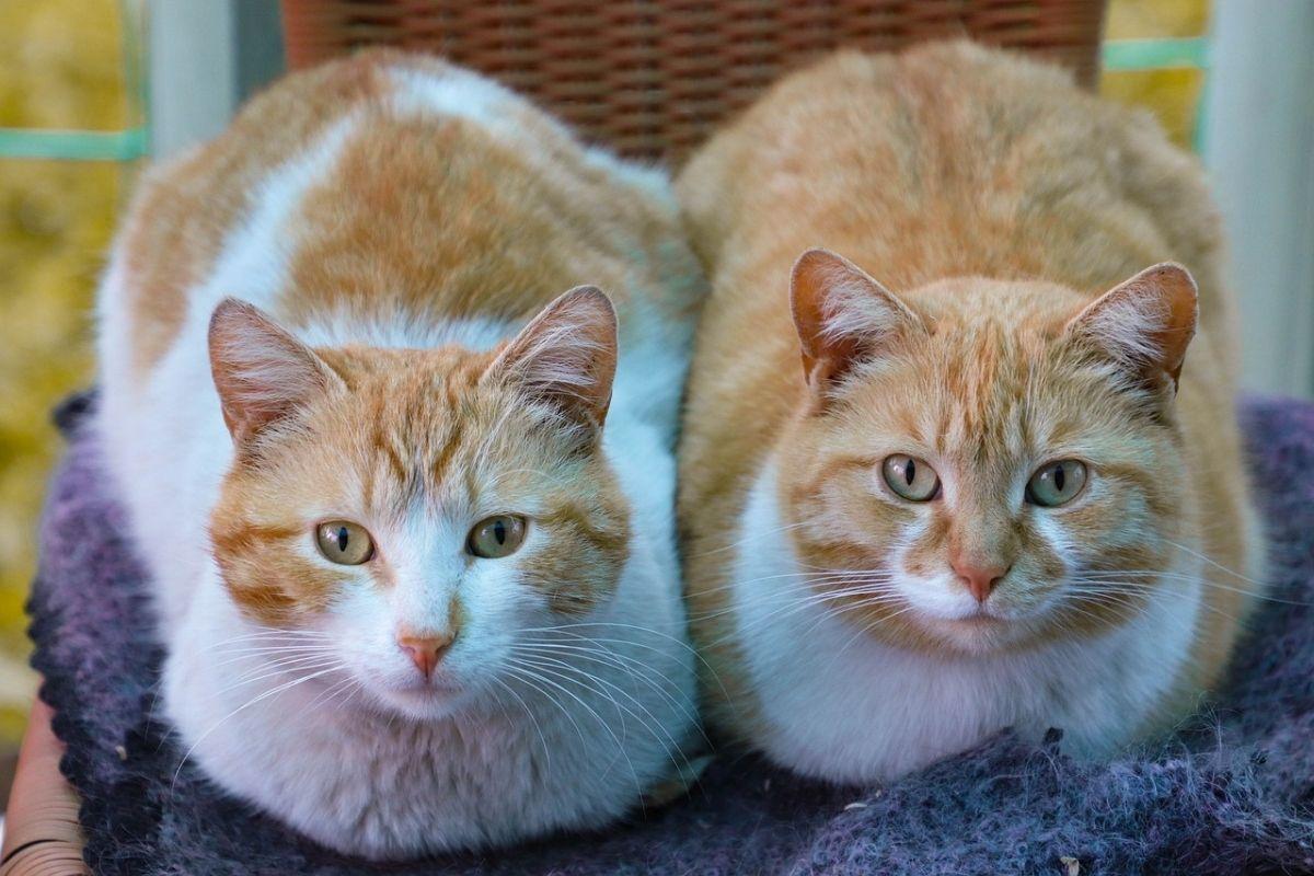 coppia di gatti rossi e bianchi