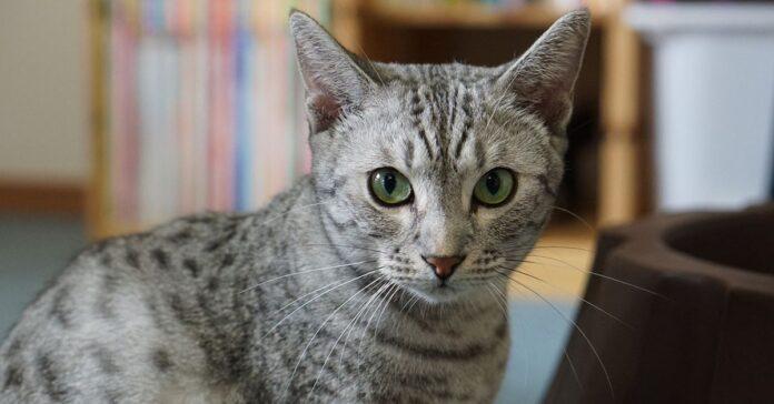 gatto grigio tigrato
