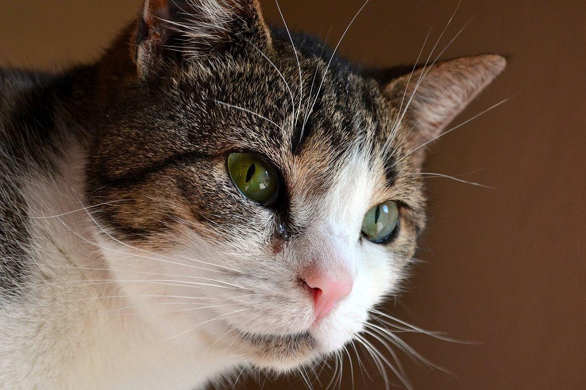 gatto tigrato con gli occhi verdi