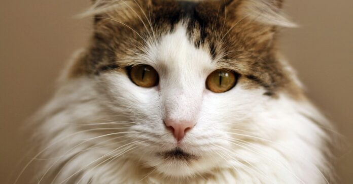 gatto a pelo lungo bianco e marrone