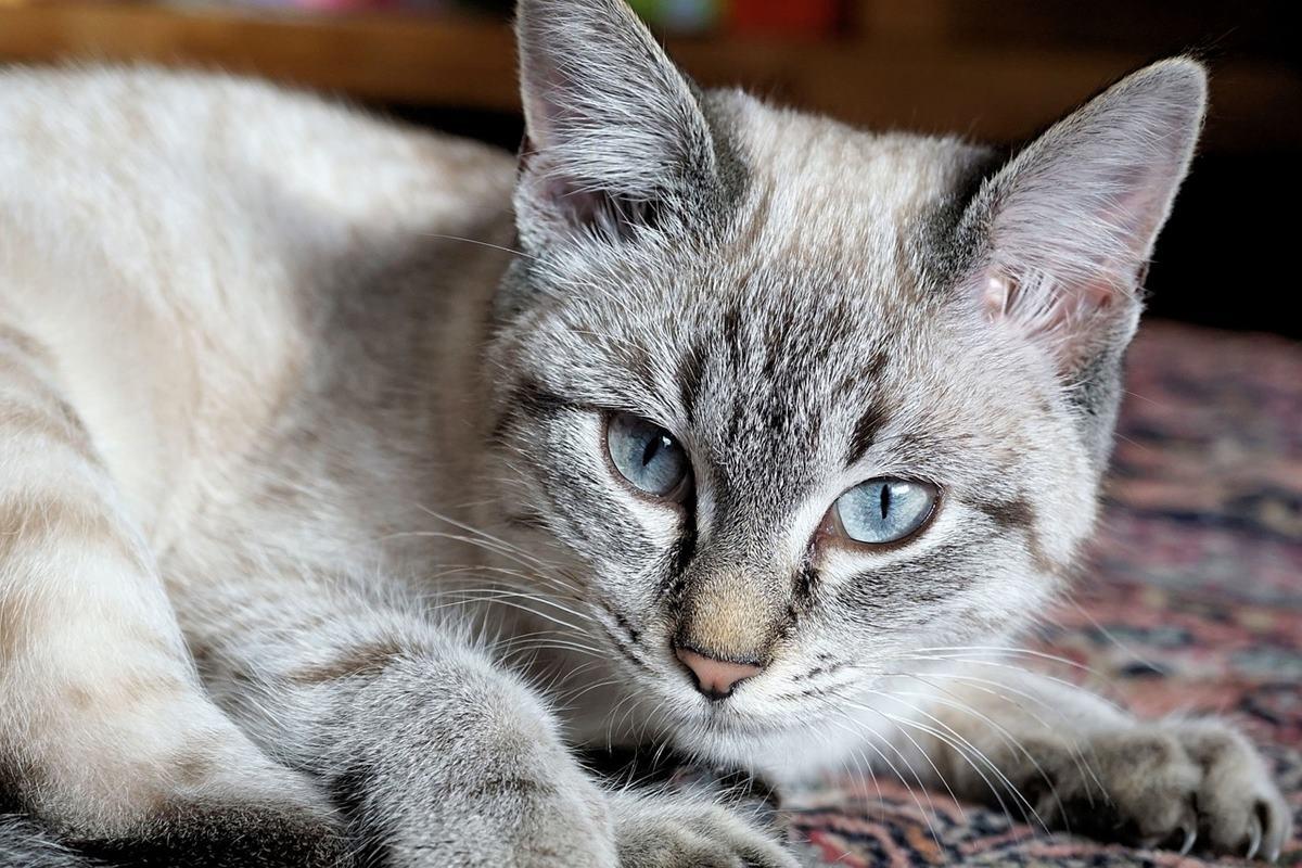 gatto di colore grigio