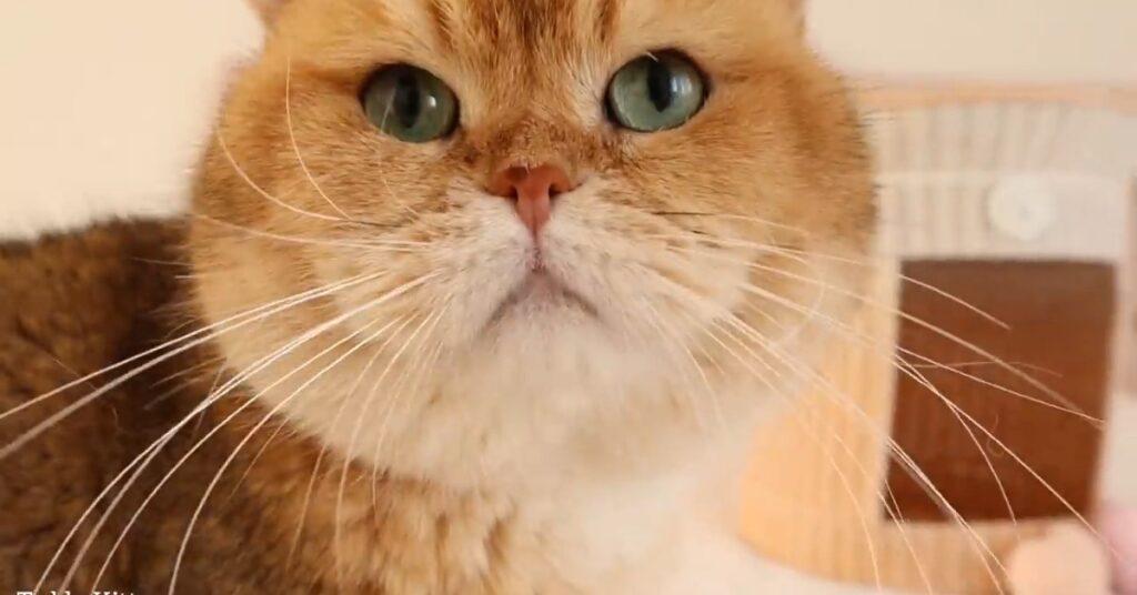 Gattina British Shorthair Milky non riconosce suo papà William
