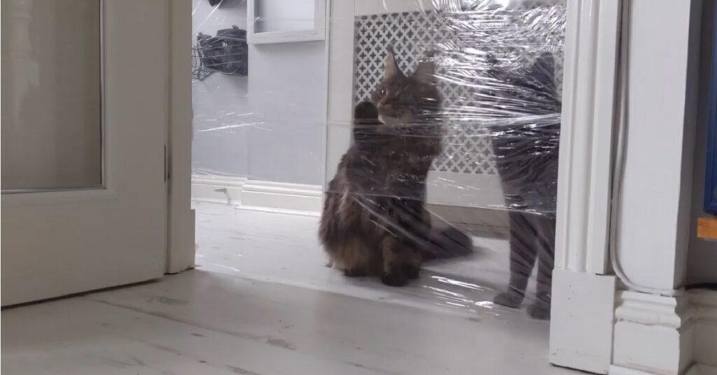 Gattini British Shorthair e Maine Coon affrontano la sfida del muro invisibile