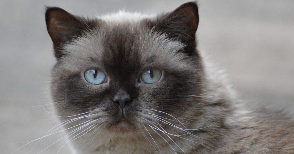 Gattino British Shorthair paffuto deve sopportare le prese in giro dello Shiba Inu