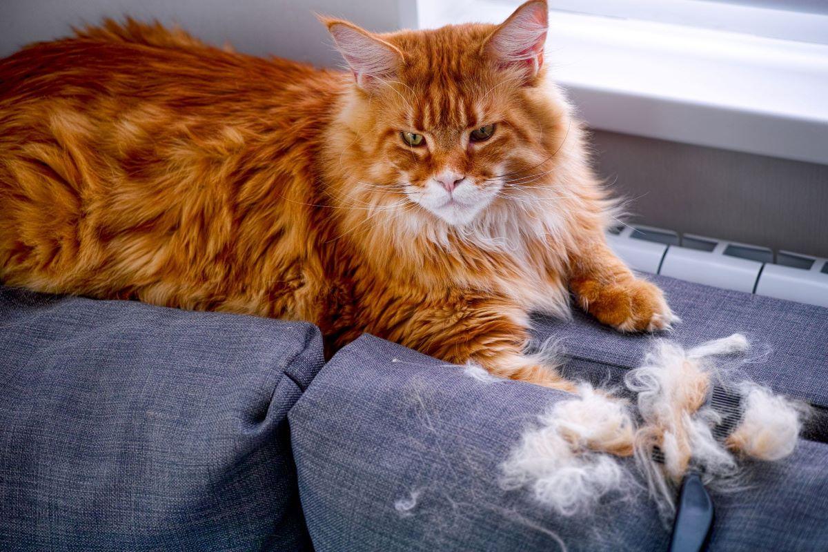 gattino con poco pelo