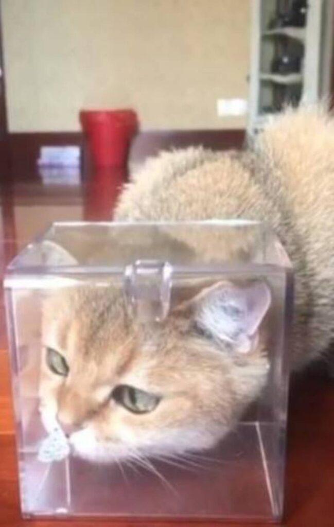 gatto con la testa incastrata