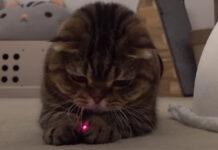 Gatto gioca con un laser